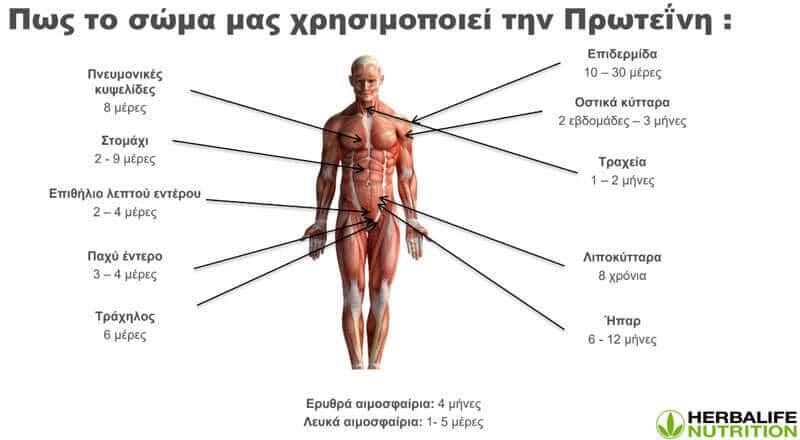 Πώς το σώμα μας χρησιμοποιεί την πρωτεΐνη